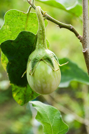Fresh green thai eggplant organic on tree in the vegetable agricultural farm in eggplant field
