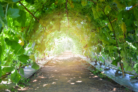 Nature tunnel with green bottle gourd plant growing in the vine agriculture farm