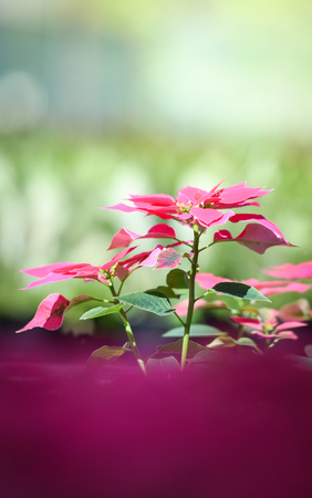 Poinsettia pink flowers blooming in the garden - leaves pink and green or Christmas star flowers plant rare (Euphorbia pulcherrima) at Loei Phu Rua Stock Photo