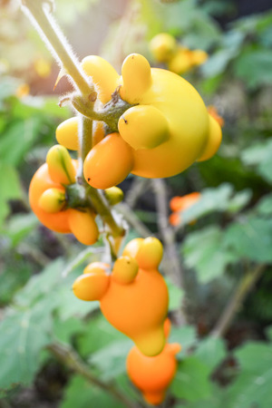 Titty nipple fruit yellow eggplant on tree in the garden  Solanum mammosum Thorny Popolo Stock Photo