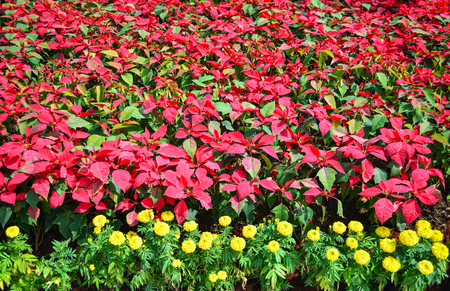 Beautiful leaf red poinsettia background blooming in the garden or Christmas star flowers plant and yellow marigold / Euphorbia pulcherrima Stock Photo