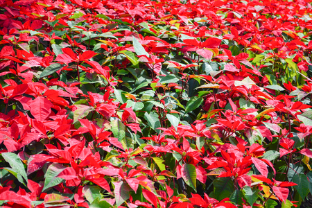 Beautiful leaf red poinsettia background blooming in the garden or Christmas star flowers plant / Euphorbia pulcherrima