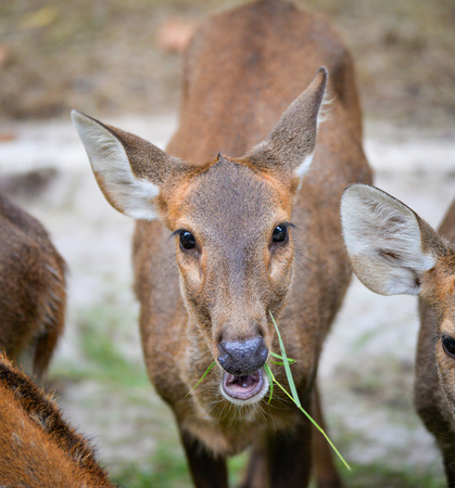 Deer graze grass in the national park