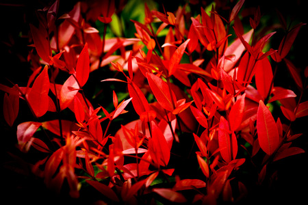 Beautiful red leaf of Syzygium australe plant or Christina tree in the garden nature dark background
