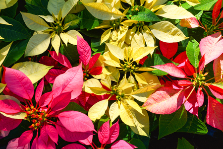 Red and yellow Poinsettia flowers Colorful blooming in the garden / Christmas star flowers plant - Euphorbia pulcherrima