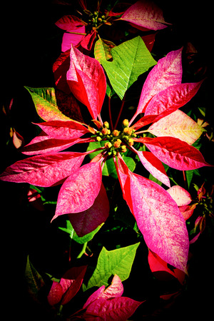 Red Poinsettia flowers Colorful blooming in the garden dark background / Christmas star flowers plant - Euphorbia pulcherrima