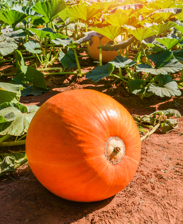 Orange pumpkin plant on field growing on vine on organic vegetable garden agriculture farm ready for harvested