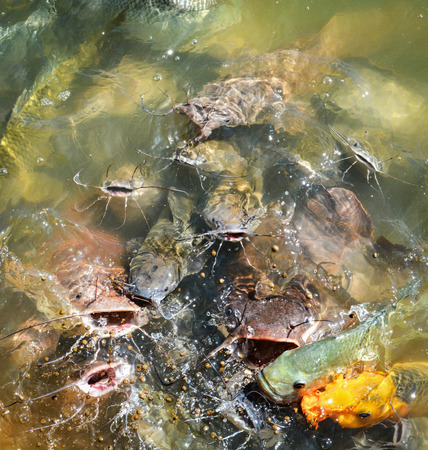 Orange golden carp fish tilapia and catfish feeding food on water surface ponds 版權商用圖片
