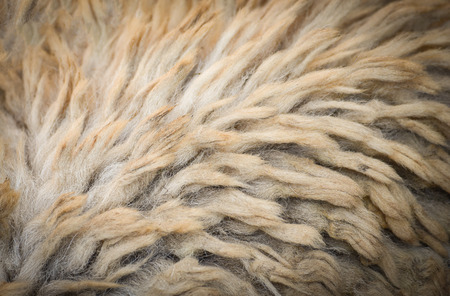 real of sheep wool texture background