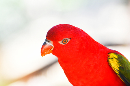 Chattering Lory parrot standing on branch tree / beautiful red parrot bird - Lorius garrulus Stock Photo