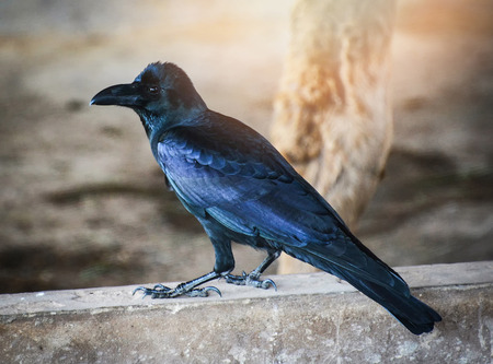 Bird black Carrion Crow standing on floor / Corvus corone