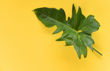 Green leaves tropical plant jungle with Philodendron leaf on yellow background Stockfoto