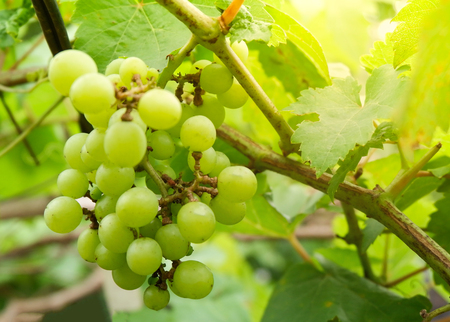 Bunch green grape vine / Fresh of fruit grape hung on the trees in the vineyard