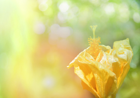 yellow hibiscus flower on nature green background / Hibiscus rosa - sinensis Archivio Fotografico