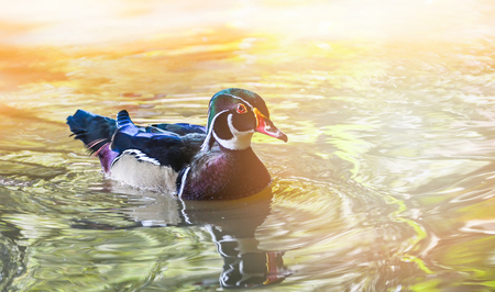 The beautiful Male wood ducks floating swimming in the pond in the duck farm / Aix sponsa