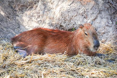 Capybara lying on ground on summer day in the capybara farm at national park  Hydrochaeris hydrochaeris