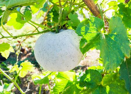 winter melon hanging on vine tree in the garden Imagens