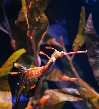 Sea dragon seahorse swimming underwater ocean