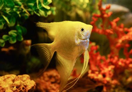 White Silver angelfish swimming fish tank underwater aquarium / Pterophyllum scalare