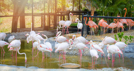 Group of pink white Greater Flamingo birds on water pond in the wildlife sanctuary