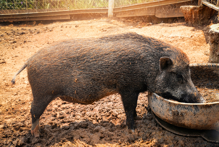 Black pig - Wild boar forest foraging eating on large cage in the wildlife sanctuary