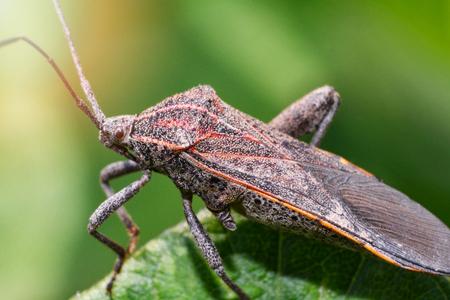 Close up Coreid bug on plant tree on nature green background / Squash bug