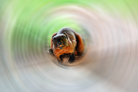 Rat or red squirrel brown fur in rotate blur and selective focus Stock Photo