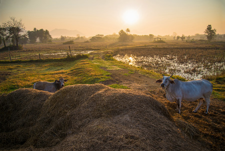 countryside landscape cow grazing in agriculture farm and sunrise rural countryside view