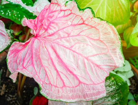 Caladium bicolor colorful pink leaf araceae in pot in the garden