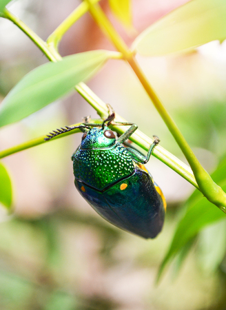 Jewel beetle on the leaf tree branch nature background - Other names Metallic Wood boring / Buprestid green insect 免版税图像