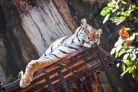 Bengal tiger lying on terrace in the national park on summer day