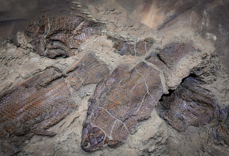 Fish fossil / Group of fossil fish in the mud become a rock stone archeology of aquatic animals
