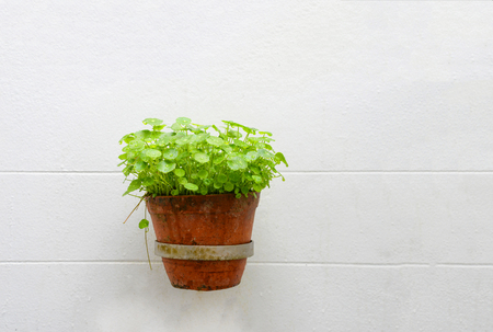 green plant in baked clay pot hang on white wall - Asiatic with drop water on leaves in pot on white background Stock Photo