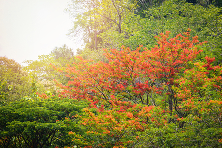 Autumn tree color change leaf orange and red / Flam-boyant , The Flame Tree, Royal Poinciana