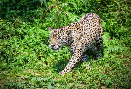 Tiger leopard jaguar animal wildlife hunting / beautiful jaguar walking in jungle looking food stalking follow its prey in the forest national park