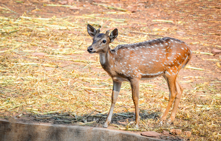 Young spotted deer in the wildlife sanctuary / Other names Cheetal - Axis deer Stock Photo