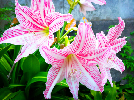 Star lily flower tropical plant blooming in the garden or Pink and White lily Hippeastrum reticulatum Amaryllidaceae