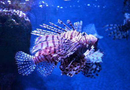 Lion fish swimming underwater aquarium  Pterois volitans Stock Photo