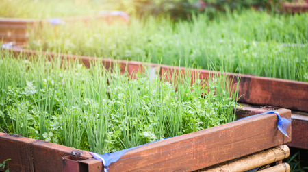 Planting coriander and scallion or spring onion growing in pot plantation vegetable garden