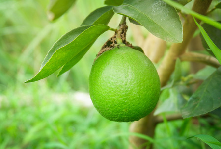 Fresh lime green lemon fruit on tree branch in the organic garden