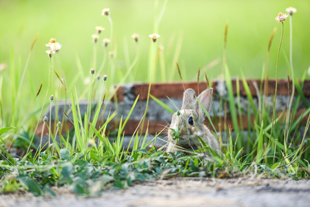 Cute rabbit sitting on green field spring meadow  The bunny brown rabbit graze grass with brick wall background Stock Photo