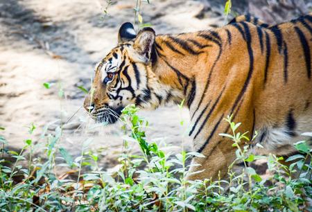 Tigre de Bengala real caminando y buscando presas en el parque nacional