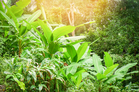 Banana tree growing in the banana field green jungle nature tropical plant background 写真素材 - 120853800