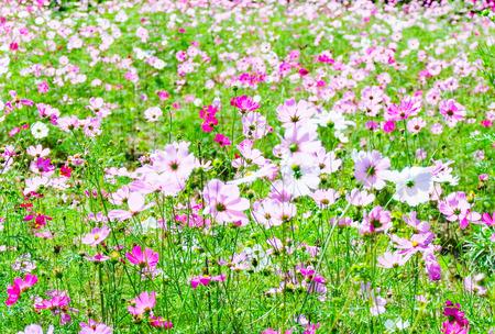 Champ rose de fleur de ressort/cosmos coloré fleurissant dans les belles fleurs de jardin
