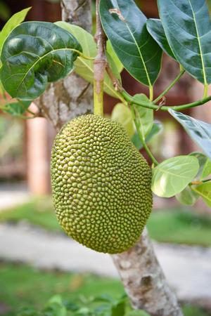 Young green jackfruit growing on the jackfruit tree tropical summer fruit