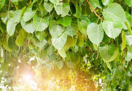 feuille de bodhi sur arbre avec la lumière du soleil au temple thaïlande / arbre du bouddhisme