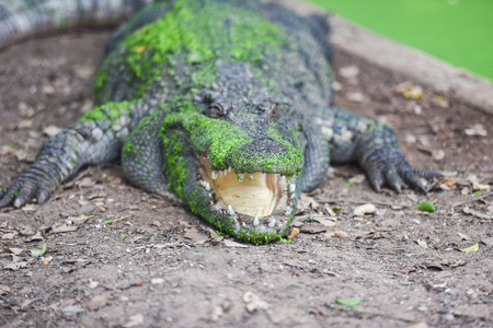 crocodile lying on ground with green aquatic plant on skin alligator - selective focus