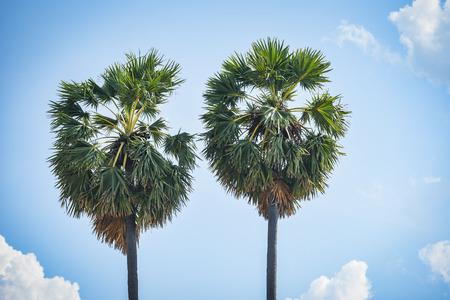 palm tree two on blue sky and cloud background Reklamní fotografie