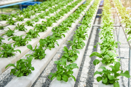 Green lettuce salad vegetable garden growing on hydroponic system farm plants on water without soil agriculture in the greenhouse organic