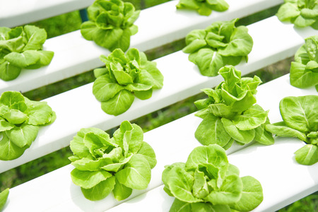 butterhead lettuce growing in greenhouse vegetable hydroponic system farm plants on water without soil agriculture organic for health food Stock Photo